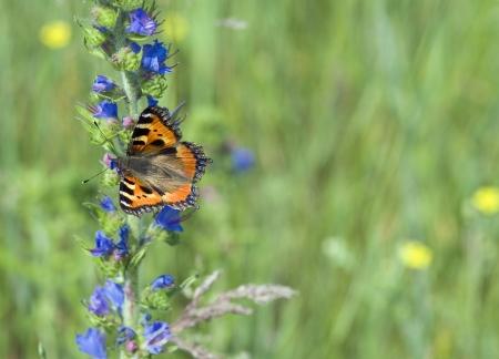 pokrzywka: Pokrzywka Butterfly na niebieski kwiat