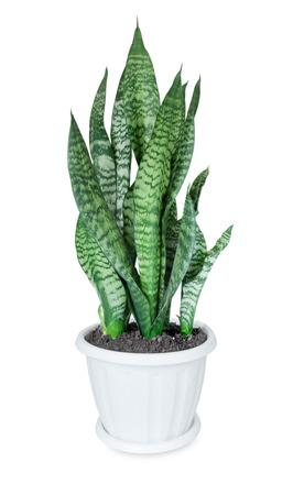 House plant Sansevieria in the white plastic flower pot on a white background Archivio Fotografico