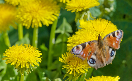 peacock butterfly on the yellow dandelions photo