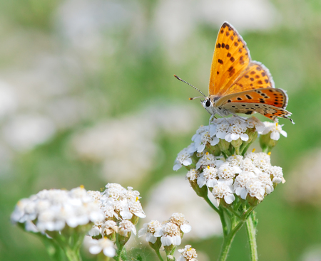 scarce: Butterfly Scarce Copper on a summer meadow
