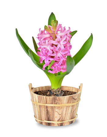 Pink hyacinth in a flowerpot on white background photo
