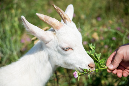 Man treats clover white goat on a summer meadow