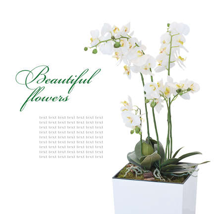 Blooming orchid in a flower pot on a white background with space for text photo