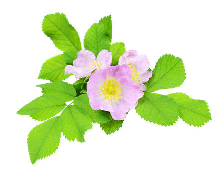 Three flower of pink wild rose, isolated on white background photo