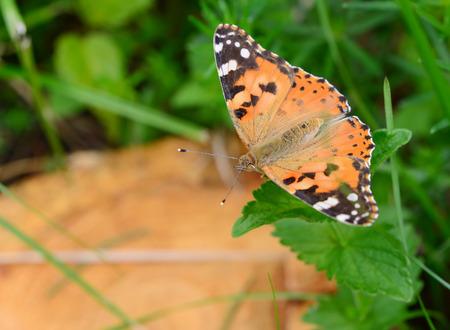 pokrzywka: Pokrzywka motyl na zielonej trawie w letni dzień Zdjęcie Seryjne