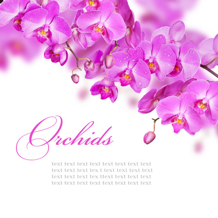 Blossoming branches of purple orchids on a white background photo