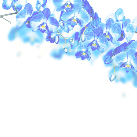 blue orchid: Blossoming branches of blue orchids on a white background