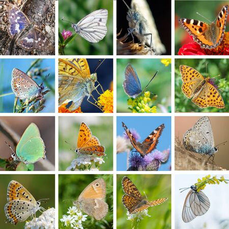 gonepteryx rhamni: Big set of photos of European butterflies in their natural habitat Stock Photo