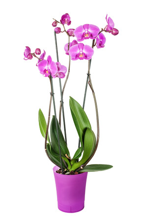 Purple phalaenopsis orchid in a purple pot  isolated at white