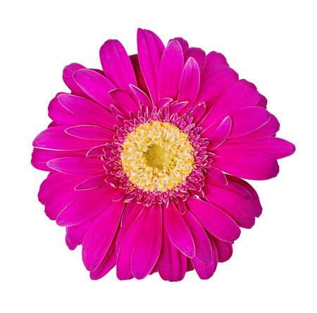 Purple gerbera flower isolated on white background, close-up photo