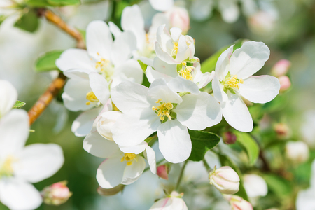 countryside loving: White delicate flowers of apple tree close-up in a spring garden in the early morning