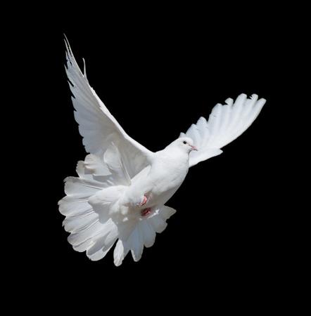 Vliegende witte duif die op een zwarte achtergrond