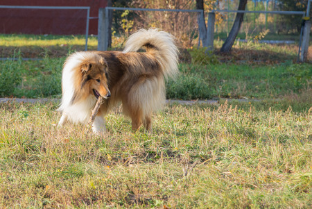 playful behaviour: Dog breed collie on areas for walking studies to give stick for her master