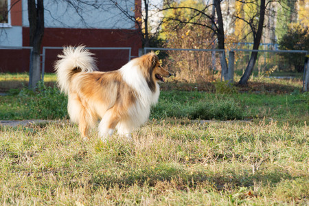 purebred: Purebred collie stands on playground for dogs