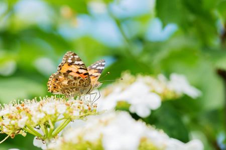 pokrzywka: Pokrzywka Motyl na białych kwiatów na letni dzień Zdjęcie Seryjne