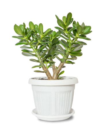 crassula: House plant Crassula in a flower pot isolated on a white background