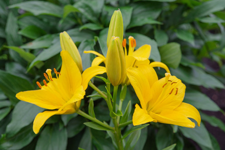 saturated: Many large flowers of saturated yellow spotted lilies outdoors close-up Stock Photo