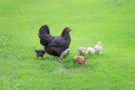 grass: Ginger and black hens walks with young chickens on green grass outdoors