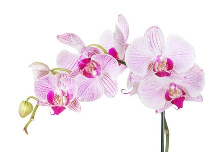 red orchid: Branch with flowers of white and pink orchid phalaenopsis, isolated on a white background Stock Photo