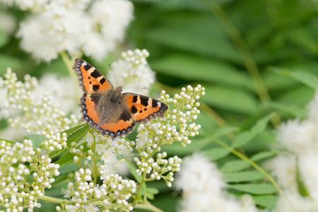 pokrzywka: Motyl pokrzywka siedzi na białych kwiatów w dzień wiosny Zdjęcie Seryjne