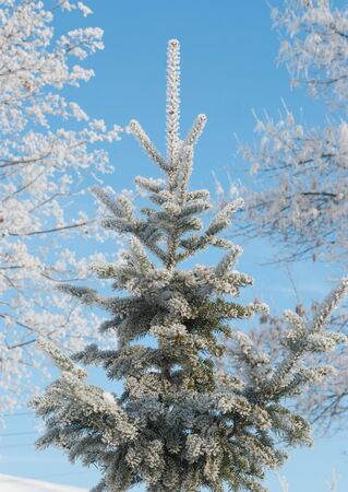 clear day in winter time: Fir tree covered with white hoarfrost against the backdrop of blue sky