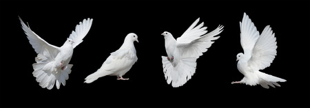 palomas volando: Cuatro palomas blancas aisladas en un fondo negro