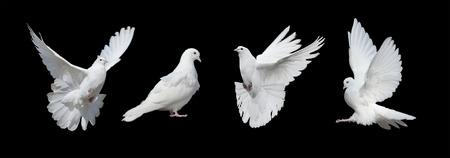 Vier witte duiven die op een zwarte achtergrond