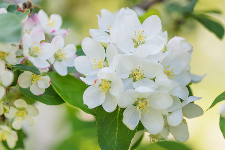 hojas de arbol: Blancas delicadas flores de manzano de cerca en un jard�n de primavera en la madrugada