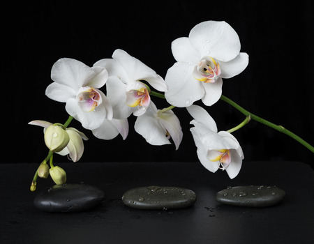 White orchid phalaenopsis flower covered with water drops and stones for massage on a black background Standard-Bild