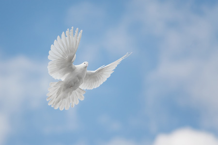 White dove flying against the blue sky with clouds Stock Photo