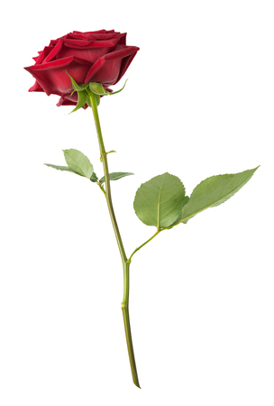 long stem: Luxurious dark-red rose on a long stem with green leaves isolated on white background, side view