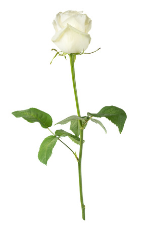 Elegant white rose on a long stem with green leaves isolated on white background, side view