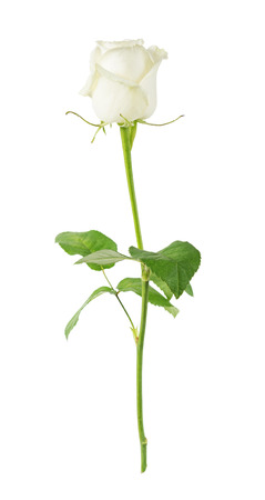 long stem: Elegant white rose on a long stem with green leaves isolated on white background, side view