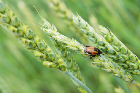agricultural crops: Insect pest of agricultural crops Grain Beetle (lat. Anisoplia Austriaca) on the wheat ear on background of a wheat field