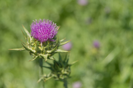 Purple flower of the Milk thistle (lat. Carduus marianus L., Mariana mariana Hill) on the plantation close-up; raw material for medicament for the liver