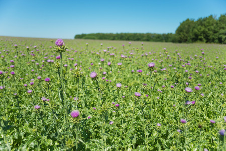 Large plantation of medicinal plant Milk thistle (lat. Carduus marianus L., Mariana mariana Hill) outdoors against a blue sky