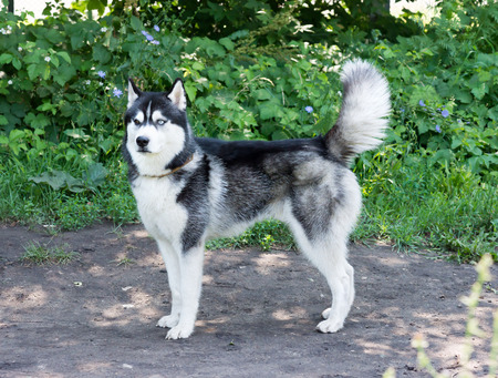 cynology: Beautiful Husky dog with different eyes, stands on the site for dog walking