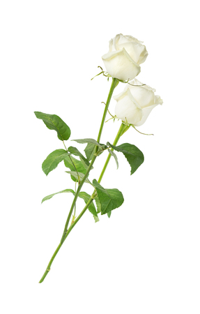 long stem: Two white roses on a long stem with green leaves isolated on white background, side view