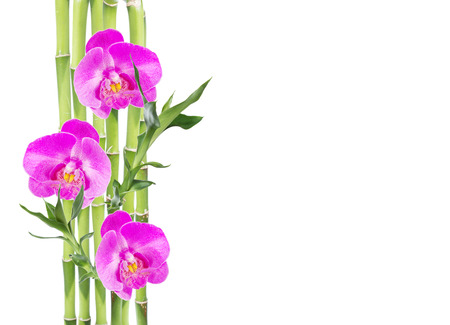 Several stem of Lucky Bamboo (Dracaena Sanderiana) with green leaves and three pink orchid flowers, isolated on white background, with copy-space