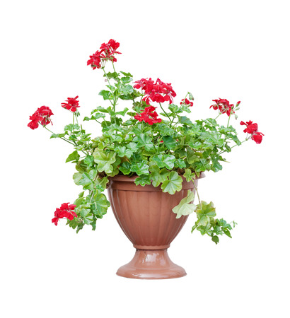 cranesbill: Home plant red geranium (ore cranesbill, ore pelargonium) in a brown flowerpot, isolated on white background