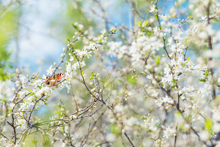 Peacock Butterfly sitting on a branch of blossoming cherry tree in the spring garden Stock Photo