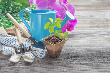 peat pot: Concept of gardening: green shoots of seedlings in a peat pot, blue watering can, pink orchid flowers, rake and shovel on a wooden background, with space for text