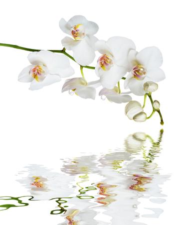 Die weiße Orchidee Phalaenopsisblume, die auf einem weißen Hintergrund lokalisiert wurde, reflektierte sich in einer Wasseroberfläche mit kleinen Wellen