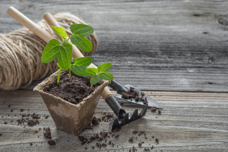 Concept of gardening: green shoots of seedlings in a peat pot, rake and shovel on a wooden background, with space for text