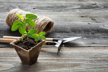 peat pot: Concept of gardening: green shoots of seedlings in a peat pot, rake and shovel on a wooden background, with space for text