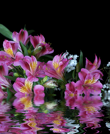 Alstroemeria flowers covered with dew drops isolated on a black background reflected in the water surface with small waves Stock Photo