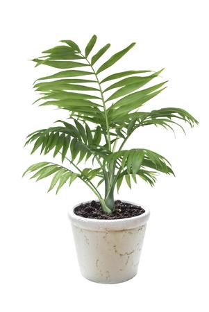 흰색 배경에 고립 된 세라믹 꽃 냄비에 집 식물 Chamaedorea