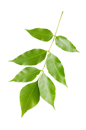 Branch of maple with green leaves, isolated on white background