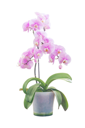 afrodita: Pink orchid phalaenopsis flower variety Aphrodite in a transparent flowerpot  isolated on a white background