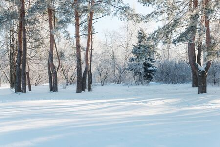 wintry weather: Winter park with snow-covered pine trees at clear frosty morning
